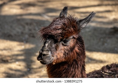 Portrait of domesticated brown Alpaca (Vicugna pacos) species of South American camelid. Photography of lively nature.