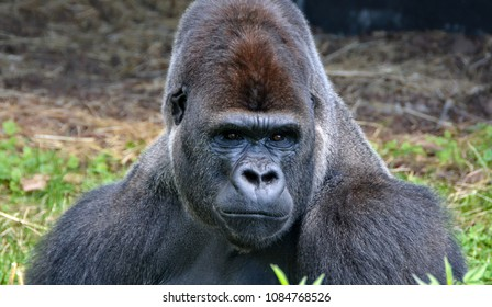 Portrait of a dominant male gorilla. Big adult ape sits in a grass and looks in a distance. African wildlife. Silverback gorilla.