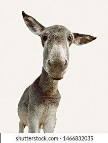 Portrait of donkey looking at camera with ears lowered and white background
