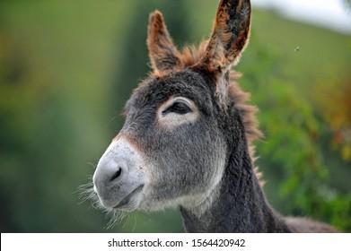 Porträt eines Esel, Eselkopf