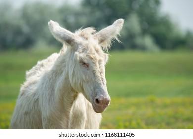 portrait of a dozily white donkey - special breeding - Burgenland Austria