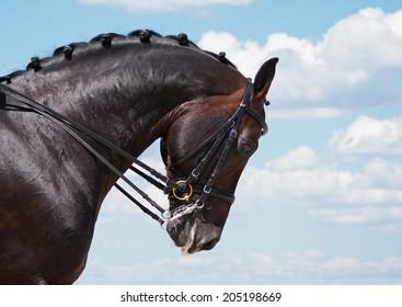 Portrait of dressage bay horse on sky background