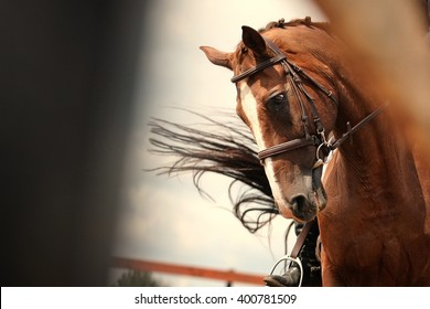 Portrait of the dressage horse