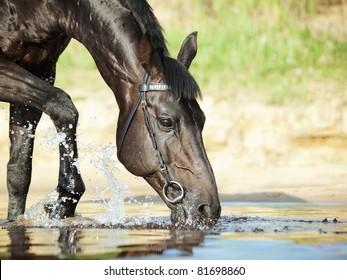 portrait of drinking black stallion in river