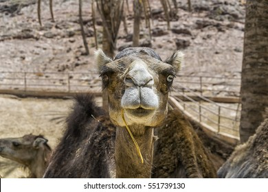 Portrait of a dromedary with different colored eyes, the right one is brown the left one is blue. The main message of this photo is: be different and happy with it!