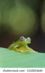 Portrait of Dusty Glass Frog (Teratohyla pulverata) standing on leaf