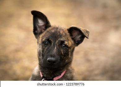 Portrait of a Dutch Shepherd puppy with a cute hanging ear.
