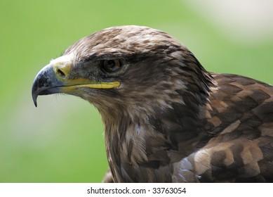 Portrait of an eagle bird