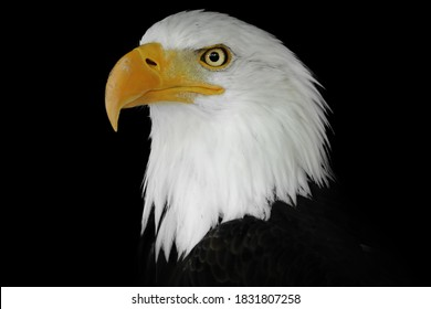 Portrait of an eagle n a black background. Colour portrait eagle. Poupalar american bird.