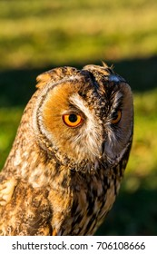 Portrait of Eagle owl (Bubo bubo) with blurred background