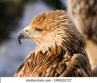Portrait of eagle owl closeup,Caucasus.