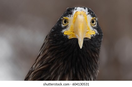 Portrait of an eagle. Steller's sea eagle (Haliaeetus pelagicus). Wildlife animal.