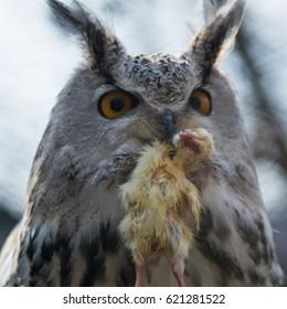Portrait eagle-owl with prey in its beak