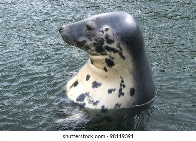 A portrait of an earless seal