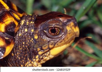 Portrait of an Eastern Box Turtle, Profile
