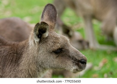 Portrait of an Eastern Gray Kangaroo laying in grass