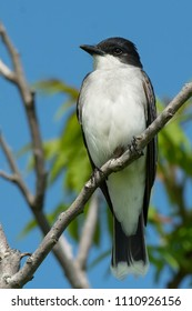 Portrait of a Eastern Kingbird perched on a branch. Colonel Samuel Smith Park, Toronto, Ontario, Canada.