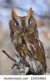 Portrait of an Eastern Screech Owl, Megascops asio