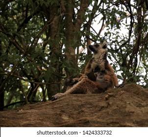 Portrait of the eating ring-tailed lemur Lemur catta aka King Julien ,Isalo national park , Madagascar