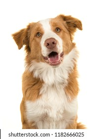 Portrait of a EE-red border collie dog on a white background with mouth open