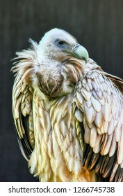 Portrait of a Egyptian vulture