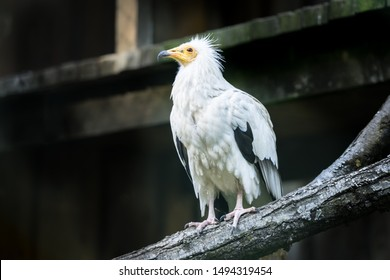Portrait of the Egyptian vulture (Latin: Neophron percnopterus), also white scavenger vulture or pharaoh's chicken. Interesting bird with white plumage with black flight feathers  in the wings.