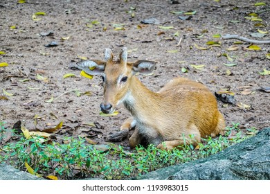 Portrait of  Eld's Deer lying on the ground at zoo thailand.