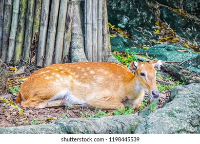 Portrait of  Eld's Deer lying on the ground at zoo