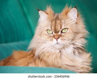 Portrait of elegant Persian Cat, Persian cat in blur green dirty background, cat portrait, animals, domestic cat, Brown orange Persian cat,cat with green eyes, grey cat, elegancy, persian cat in green