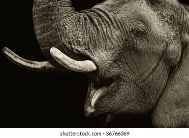 Portrait of elephant against dark background. Sepia tone.