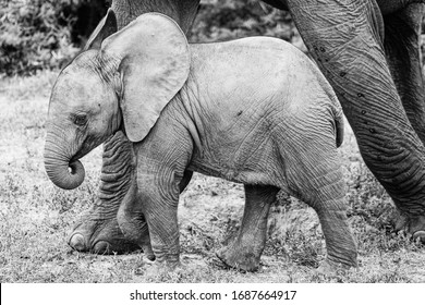 A portrait of an elephant baby, black and white, cute calf puts his trunk into his mouth, big ears, mothers feet next to it