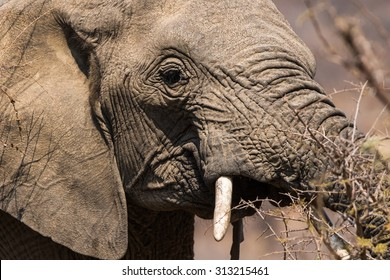 Portrait of a elephant eating leaves and branches of a thorn tree showing tush