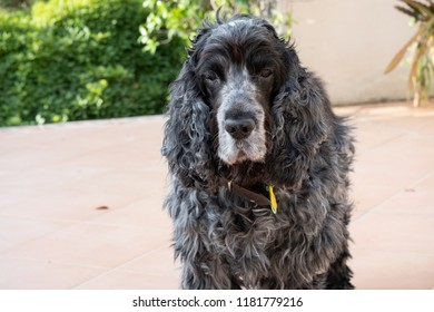 Portrait of eleven-year-old English cocker spaniel dog