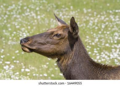 Portrait of an elk cow