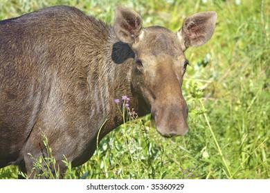 Portrait of elk in wild nature