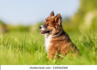 portrait of an Elo puppy on a meadow
