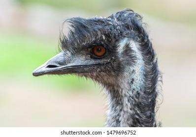 Portrait of an emu (Dromaius novaehollandiae) bird