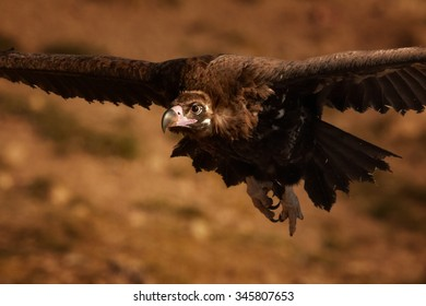 Portrait of endangered Cinereous vulture Aegypius monachus flying over rocky slope lit by setting sun, autumn bushes in background