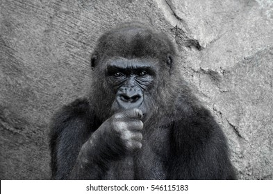 portrait of an endangered female gorilla sitting against a stone backdrop looking intently at the camera
