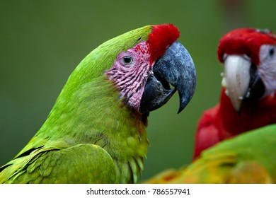 Portrait of endangered parrot, Great green macaw, Ara ambiguus, also known as Buffon's macaw against blurred group of macaw parrots in background. Close up, wild animal. Costa Rica