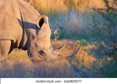 Portrait of endangered Southern white rhinoceros, Ceratotherium simum, grazing on savanna, side view, vivid colors. African animal scenery. Traveling Pilanesberg national park, South Africa.