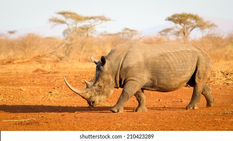 Portrait of endangered white rhinoceros at sunset on red sand, South Africa
