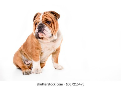 Portrait of English bulldog isolated on white background with blank space