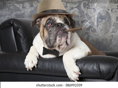 Portrait of English Bulldog resting in a black leather chair with a cigar