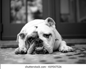 Old English Bulldog Images Stock Photos Vectors Shutterstock