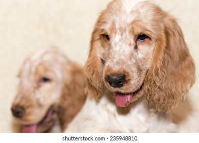 portrait of english cocker spaniel, champion, breeding station