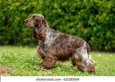 Portrait of English Cocker spaniel dog in outdoors.