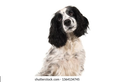 Portrait of a english cocker spaniel glancing away isolated on a white background in a horizontal image