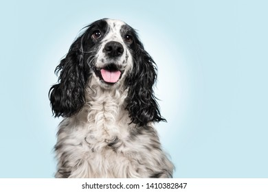 Portrait of an english cocker spaniel on a blue background with white spot with copy space