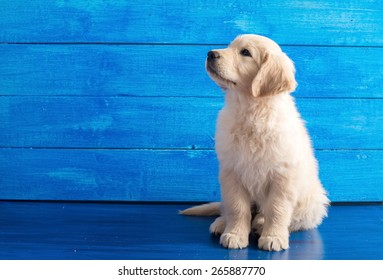 Portrait of English Golden Retriever puppy on blue wood
